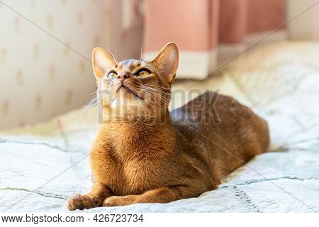 Abyssinian Cat At Home. A Beautiful Purebred Short-haired Young Cat Lies On A Bed In The Sun. He Loo