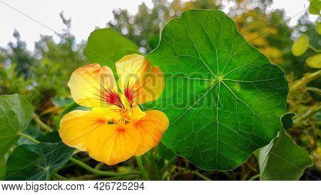 Close Up Yellow Orange Tropaeolum Majus, Or Nasturtium, Flower With Leaf Among Green Foliage, Garden
