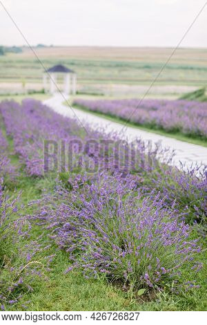 Picturesque Nature View Of Summer Field With Blooming Lavender Flowers. Road Among The Lavender Rows
