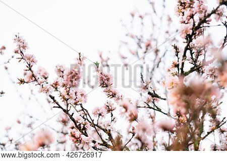 Spring Blossom Background. Beautiful Nature Scene With Blooming Tree And Sun Flare. Sunny Day. Sprin