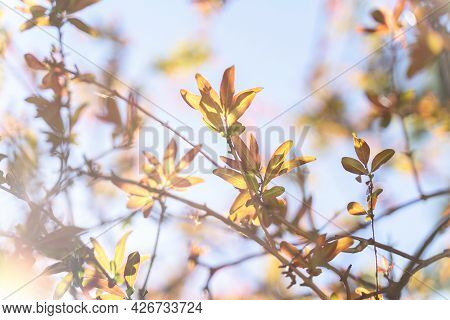 Colorful Autumn Foliage Backlit By Sun On Blue Sky Background. Beautiful Natural Autumn Foliage Back