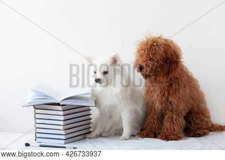 Two Beautiful Little Dogs, A White Pomeranian And A Red Brown Poodle, Are Sitting Near A Stack Of Bo