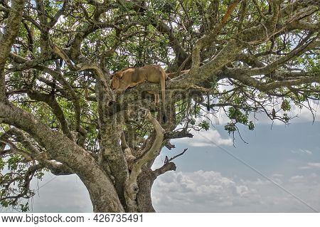 In The Crown Of A Sausage Tree Sleeps Adult Lion. Eyes Closed. Tail And Paws Hang From Branches. Blu