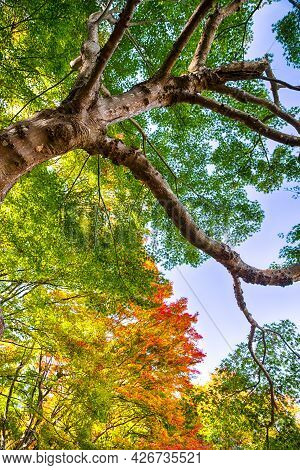 Picturesque High Textured Red Maple Tree With Colorful Leaves In Japan Against Blue Sky At Fall Seas