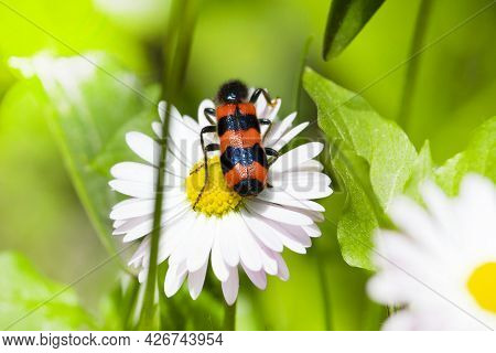 Blister Beetle. Shrenk\'s Abscess Sitting On A Fresh Chamomile Flower In A Field