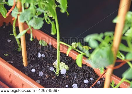 A Small Plant Of Tomatoes Surrounded By Hail After A Hailstorm. Night Photo Of Tomato Plants In Wind