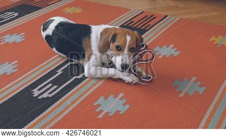 Small Beagle Holding The Leash And Waiting For A Walk. Dog Waiting For Walk With His Owner