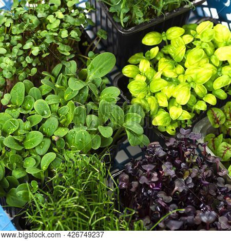 Mix Of Micro Greens Close-up. Microgreens Of Onions, Basil And Radishes