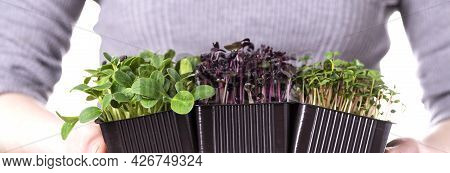 Organic Raw Microgreens. A Woman Holds Microgreen Sprouts In Her Hands. Healthy Superfood Concept. D