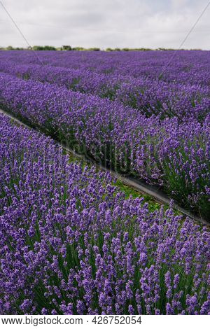 Rows Of Farmed Lavender Flowers On A Lavender Farm