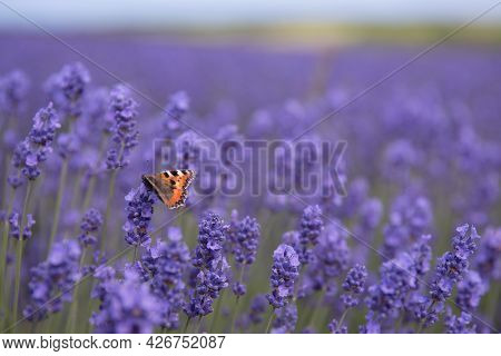 A Full Frame Close Up Of  A Red Admiral Butterfly Pollinating Lavender Flowers On A Lavender Farm Wi