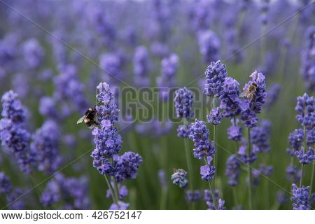 Full Frame Close Up Of Bees Pollinating Lavender Flowers In A Nature Background With Copy Space