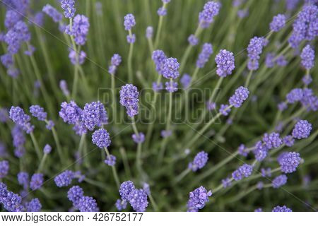 A Full Frame Close Up Of Lavender Flowers On Stalks With Copy Space