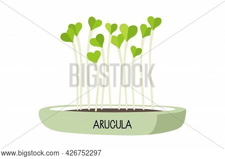 Microgreens Arugula In Home Pot For Plants. Sprouting. Fresh Organic Sprouted Seeds Of Arugula On Wh