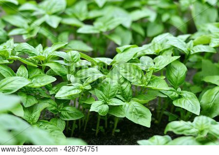 Green Genovese Basil Growing Outdoors In The Garden. Homegrown Organic Food. Gardening Concept.