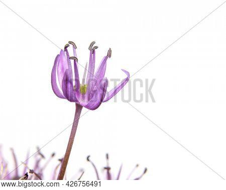 Close up shot of Allium flower on white background
