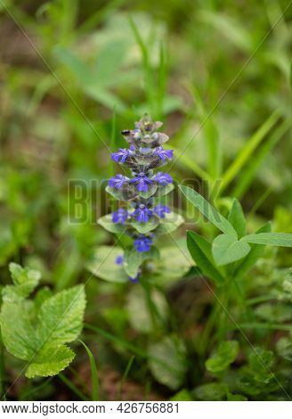 Blue Flower Ajuga Reptans Or Bugle Or Bugleweed On A Green Meadow. Catlins Giant On A Meadow. Spring