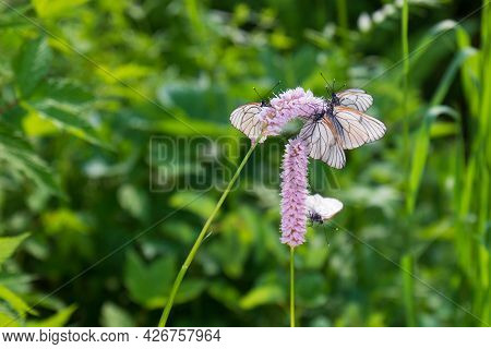 Black-veined White Butterflies On Pink Flowers Snakeroot Against Green Blurred Background. Aporia Cr