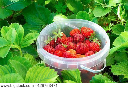 Sweet Red Strawberry Berries In A Plastic Bucket Among Strawberry Leaves In Summer Garden. Selective