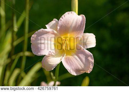Hemerocallis Catherine Woodbury On A Natural Green Background. Pink Daylily Flower Close Up. Beautif