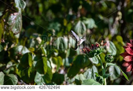 The Fast Moving Hummingbird In A Missouri Backyard Is Just About To Touch The Sunflower Bloom With I