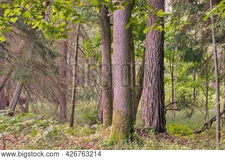 Old Trees In Summer Morning, Bialowieza Forest, Poland, Europe