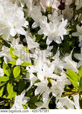 Beautiful White Rhododendron Or White Azalea Flowers Blooming In Spring.