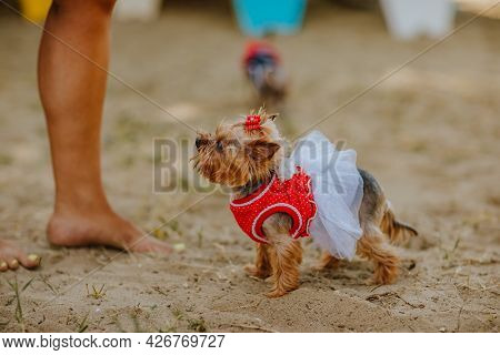 Cute Female Yorkshire Terrier In Summer Dress On The Sand Beach.