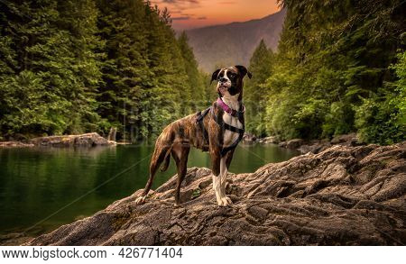 Playful And Funny Boxer Dog Standing By The River In Canadian Nature. Alouette Lake In Golden Ears,