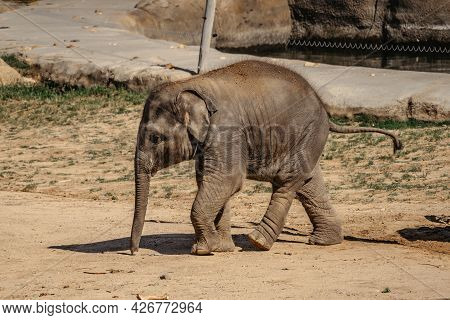Cute Adorable Baby Elephant In Spectacular Elephant Valley, Zoo Czech Republic.indian Elephants.anim