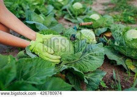Gardener Picking Cabbage In Summer Garden, Choosing Ripe Ready Vegetable And Putting Crop In Basket.