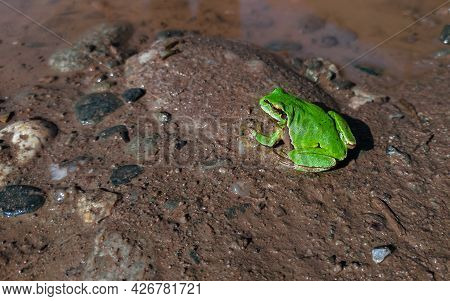 Green Tree Frog. Tree Frog On Wet Ground. Amphibian On The Ground In The Forest.
