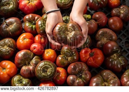 Organic Deformed Tomatoes Due To Rain After Drought. Tomato Held In Hand. Organic Gardening Concept.