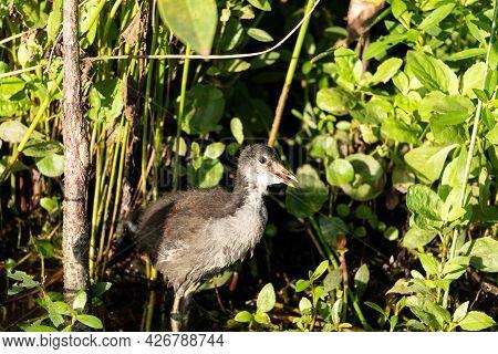 Fuzzy Black Juvenile Common Gallinule Bird Gallinula Galeata In A Marsh In Naples, Florida.
