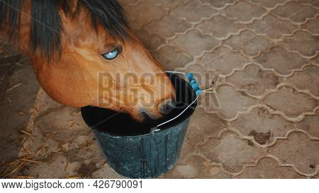 A Dark Brown Blind Horse Drinking Water From A Bucket In The Horse Stable. Close-up View. View From