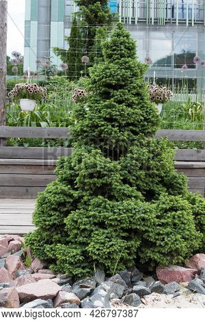 Beautiful Fir Tree In The Urban Landscape. Greening Of The Urban Environment