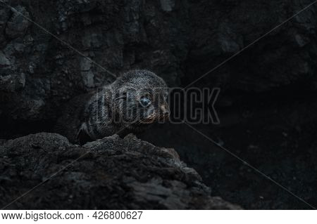 Fur Seal Pup Lying On The Rock Close To Cape Pallister New Zealand