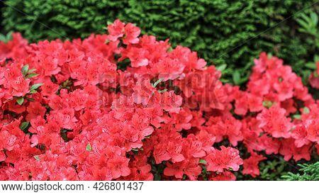 Blooming Red Azalea Flowers In Spring Garden