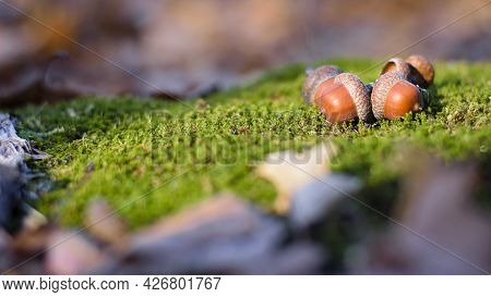 The Acorn Lies On The Green Moss Of The Autumn Forest. Early Spring In The Forest. A Group Of Acorns