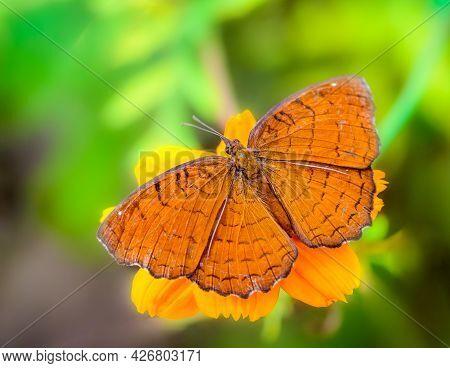 Angled Castor, Ariadne Ariadne, Butterfly Feeding On Flowers With Copy Space