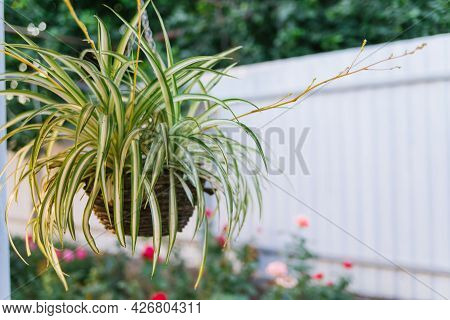 A Flowerpot With A Flower Hangs In The Courtyard Of The House. Thin Green Leaves Hang From A Flower