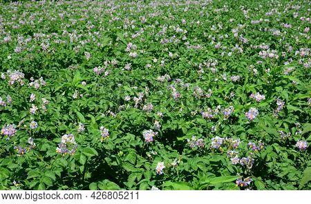 Growing Potatoes. Potato Plants Producing Flowers As A Sign Of Tubers Start Growing. Potato Plant Fl