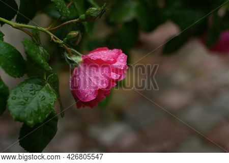 Rose Rose Bush Close-up In The Garden. A Bud Of A Delicate Crimson Rose In Raindrops. Blurred Backgr