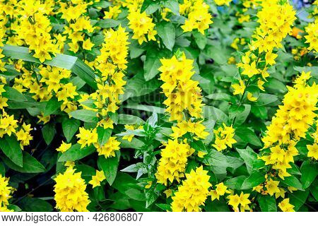 Flower Background Yellow Inflorescences Of Flowers Of Common Verbena. Perennial Herbaceous Plant Wit