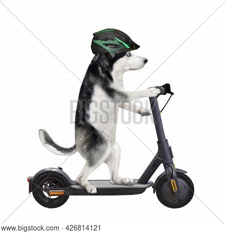 A Dog Husky In A Bicycle Helmet Is Riding A Black Electric Scooter. White Background. Isolated.