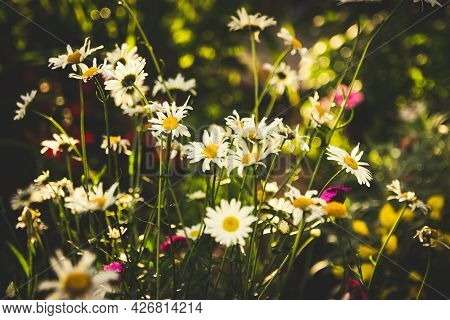 There Are Many Daisies In The Flowerbed. Bokeh Effect. High Quality Photo.
