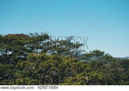 Panorama Birds Eye View Of Treetop. Evergreen Coniferous Pine Tree, Clusters Of Long Needle Shaped L
