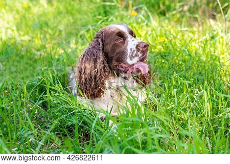 Cute White And Brown English Springer Spaniel Dog With Hanging Ears And Tongue Out Lies On Lush Gree