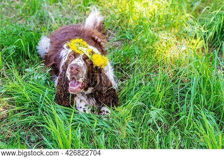 Funny English Springer Spaniel Dog With Fresh Dandelion Flowers Wreath On Head Lies On Lush Green Fi