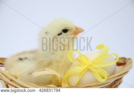 One Small Fluffy Newborn Chick Is Sitting In An Egg Basket With Yellow Bow On White Background With